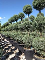 Растения итальянского качества. Прямые оптовые поставки.